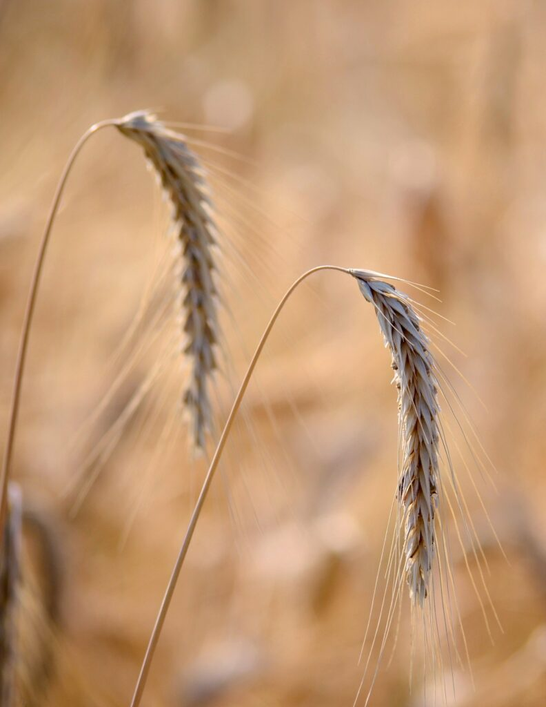 Wheat stalks used historically for extracting starch